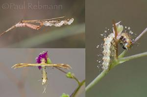Life Cycle of the Spiderling Plume Moth
