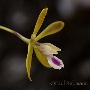 Florida Orchids